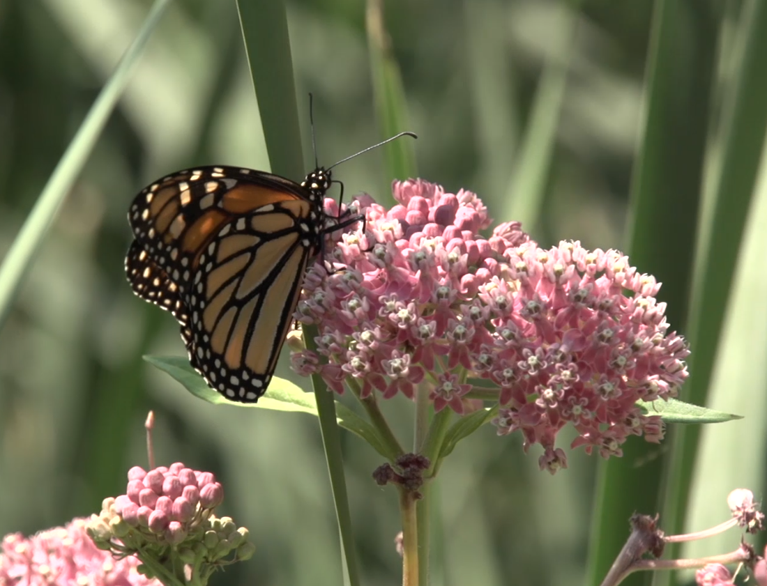 How to Raise Monarchs at Home