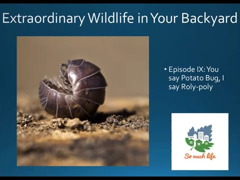 "Extraordinary Wildlife in Your Backyard. Season 1, Episode IX: ""You say potato bug, I say roly-poly"""