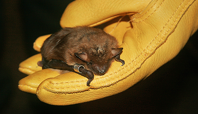 big brown bat photo by Joe Meyer