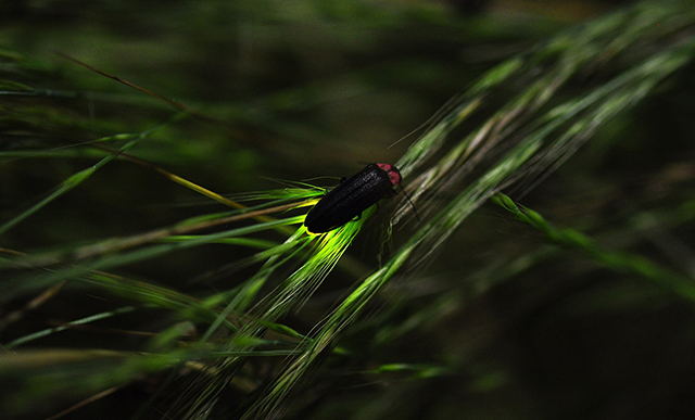 Glowing firefly on grass