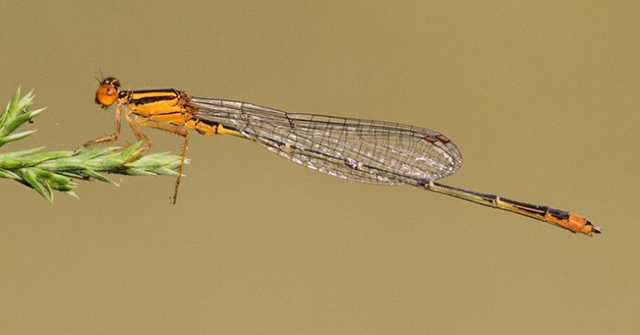 Male Orange Bluet (Enallagma signatum), photo by Dan Jackson