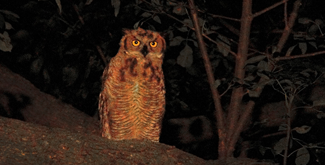 The Great Horned Owl Shining A Light On A Shadowy Creature