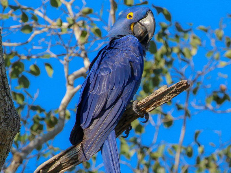 Hyacinth Macaw (the biggest parrot in the world)