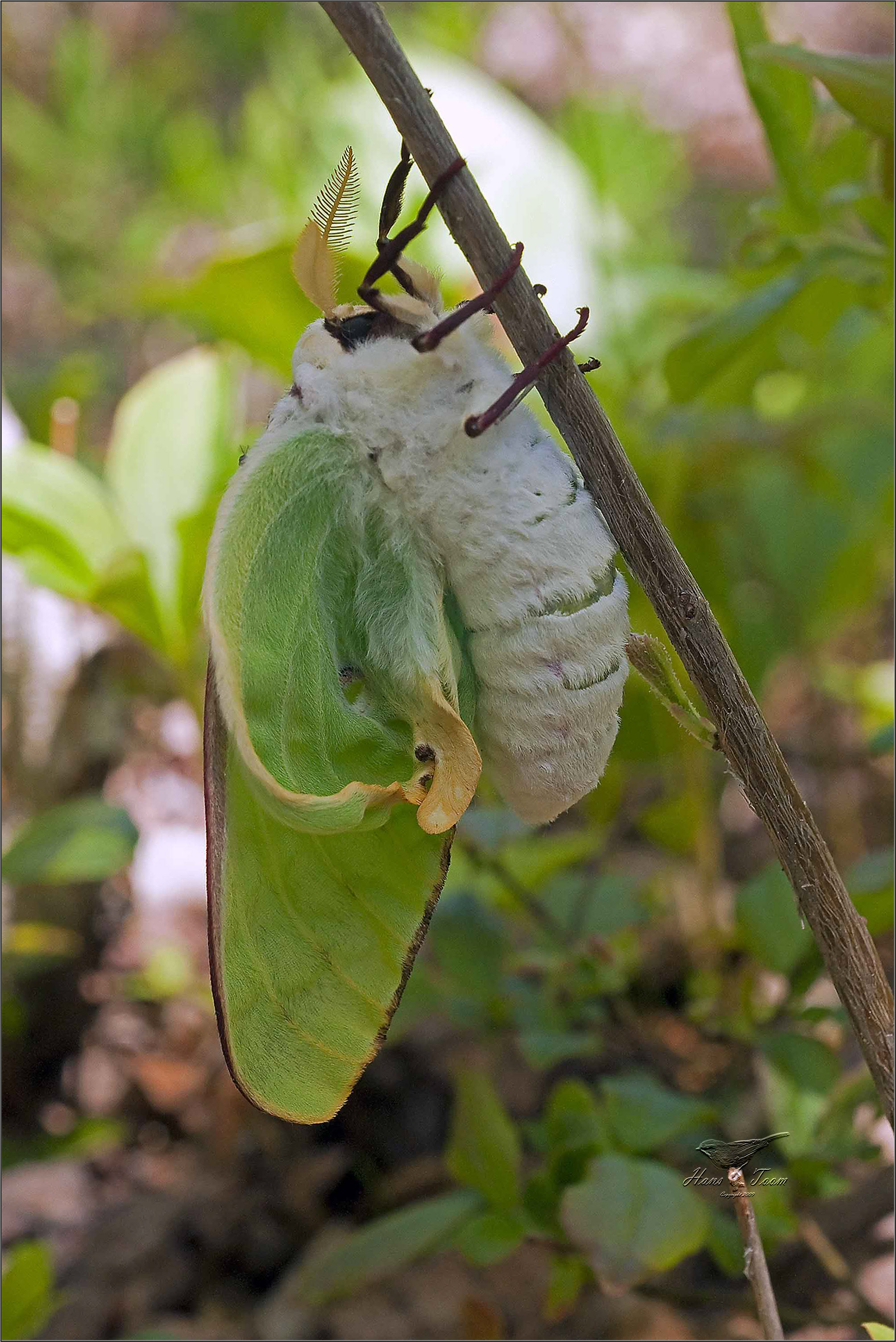 Native Animal Of The Month The Luna Moth