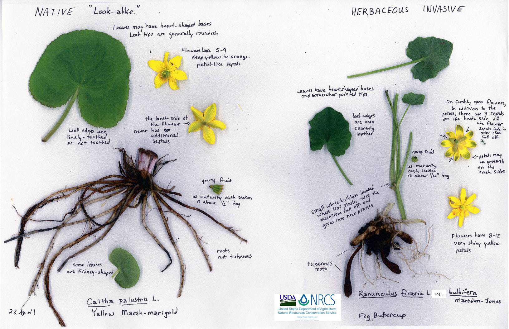 Invasive Plant To Watch Lesser Celandine Ranunculus Ficaria