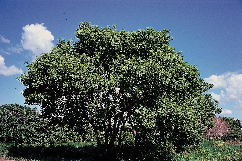 Native Tree Spotlight: In Defense of Box Elder