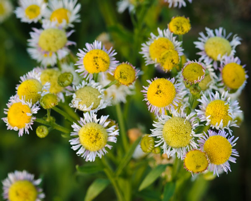Looking at Erigeron Strigosus from the top web