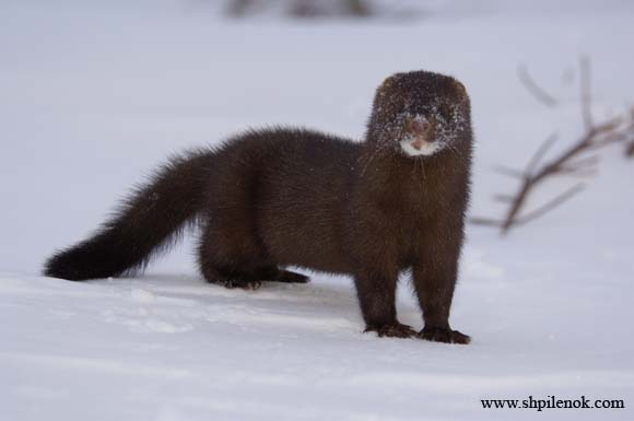Mink standing in snow.