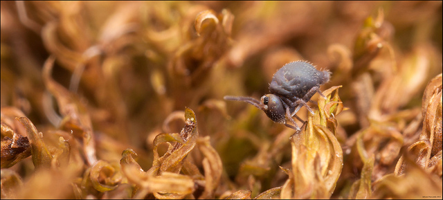 Native Animal of the Month - Springtail