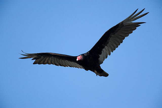 Turkey Vulture in flight against a bright blue sky