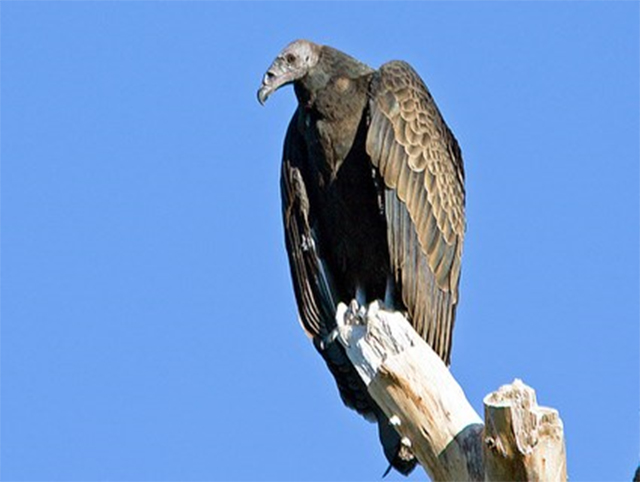 Immature turkey vulture perched on a leafless branch