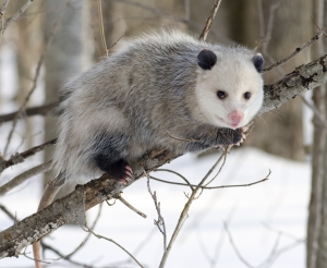 Native Animal: Opossum (Didelphis virginiana)