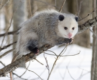 Native Animal of the Month: Opossum (Didelphis virginiana)