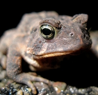 Native Animal of the Month: Eastern American Toad