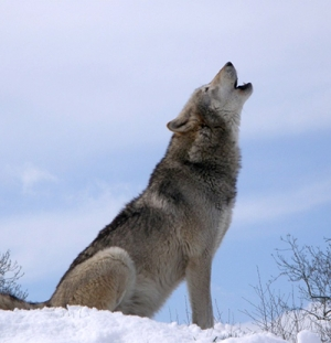 Native Animal of the Month: Gray Wolf