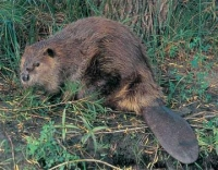 Native Animal of the Month: Beaver (Castor canadensis)
