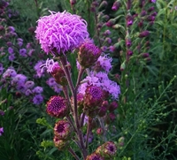 Native Plants to Know: Meadow Blazing Star