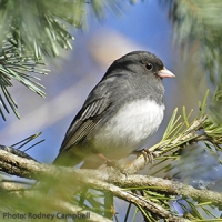 Say Hello to the Junco!