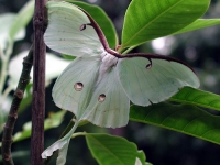 Native Animal of the Month - The Luna Moth