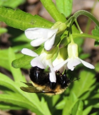 May Phenology: 2013 Re-emergence of Frogs, Bees and Flowers