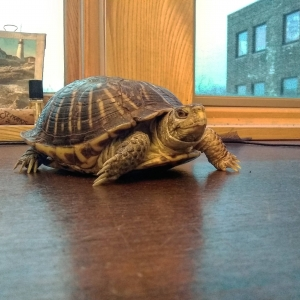 The resiliency of box turtles during winter