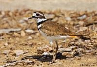Native Animal of the Month - The Killdeer