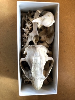 A gift of an American Beaver skeleton