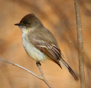 Eastern Phoebe. Photo by Bruce Halmo