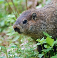 Native Animal of the Month - Woodchuck
