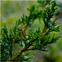 Native Tree Spotlight: Eastern Redcedar