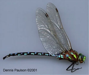 Native Animal of the Month: Lance-tipped Darner
