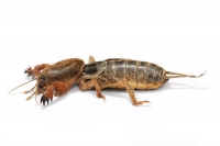 Native/Non-Native Animal of the Month - Mole Cricket