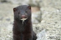 Native Animal of the Month - The Mink