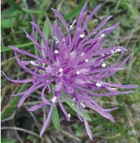 Invasive Plant Spotlight: Spotted Knapweed