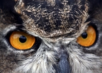 The Great Horned Owl: Shining a Light on a Shadowy Creature