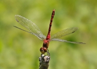 How to Get Involved in Dragonfly and Damselfly Research at the Center