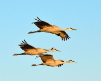Beauty at Bosque del Apache: The Cranes of New Mexico