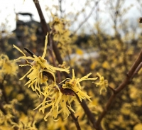 Native Plants: Common witch hazel