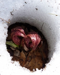Native Plant: Eastern Skunk Cabbage