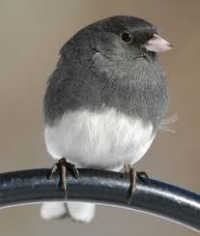 Native Animal of the Month: Dark-eyed Junco
