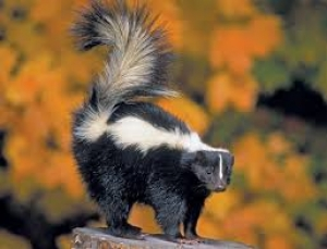 Native Animal: Striped Skunk (Mephitis mephitis)