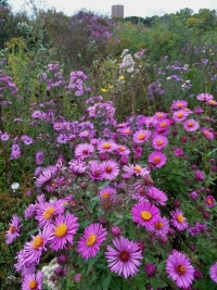 Native Plants: New England Aster & Downy Gentian
