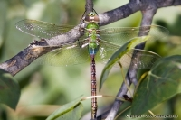 Native Animal Spotlight - The Common Green Darner Dragonfly