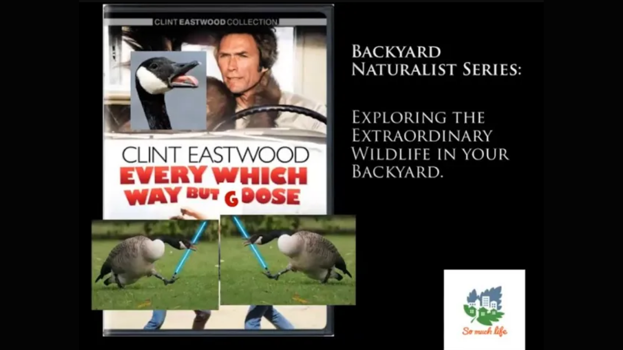 Backyard Naturalist Series: Every Which Way But Goose